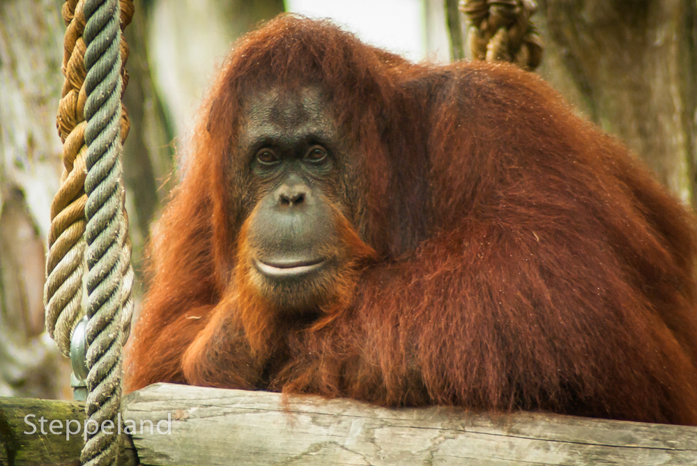 Orangutan - Read my thoughts