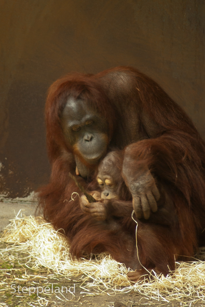 Orang Utan - mother and baby